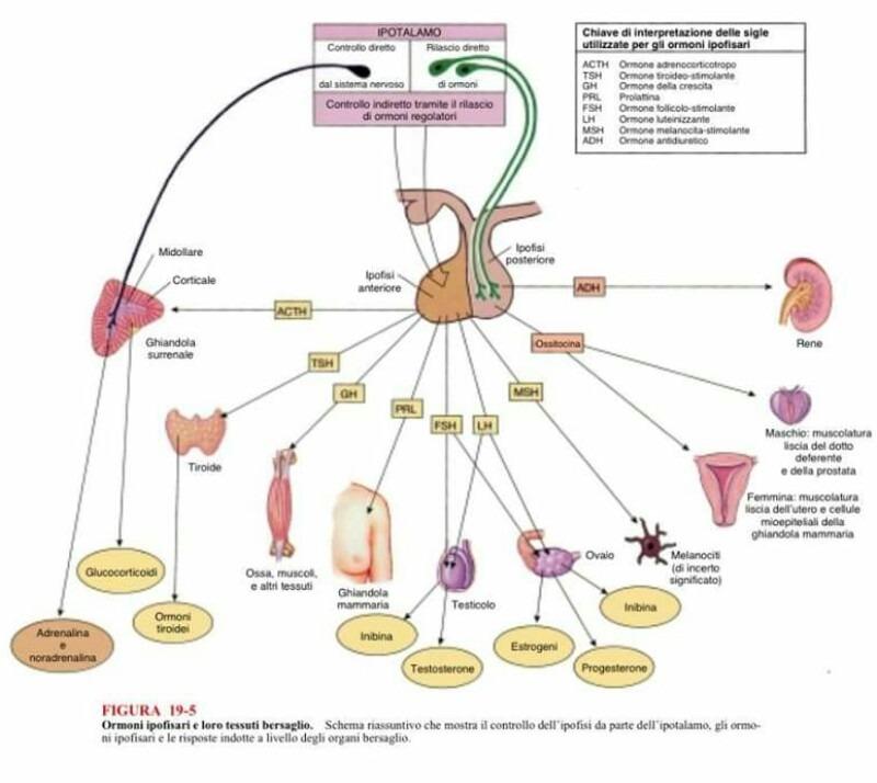 ormonale per la crescita del pene
